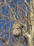 Wasp nest in aspen tree. An empty wasp nest hangs in a white barked aspen tree in late autumn in eastern Oregon stock images