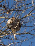 Wasp nest in aspen tree. An empty wasp nest hangs in a white barked aspen tree in late autumn in eastern Oregon stock photo