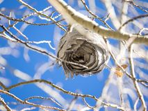 Wasp nest in aspen tree. An empty wasp nest hangs in a white barked aspen tree in late autumn in eastern Oregon royalty free stock photos