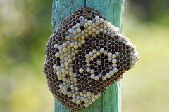 Wasp nest attached to a wooden board. Stock Photography