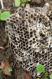 Wasp nest. Beautiful shot of wasp nest lying in soil stock images