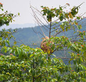 Wasp nest. The Big wasp nest in a tree stock images