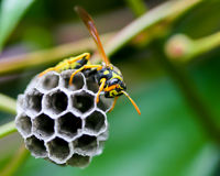 Wasp and Nest. Wasp building a nest, Oregon, USA royalty free stock photos