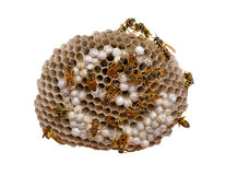 Wasp Nest - with clipping path. Wasp nest isolated on white, with wasps working and feeding the larvae. Also visibles some eggs in the cells. With clipping path stock photos