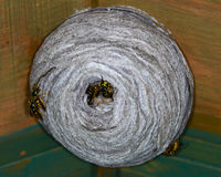 Wasp or hornet nest. Closeup of paper wasp nest with wasps and larva stock photo