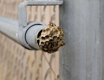 Wasp and nest Stock Image