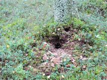 Wasp nest in forest. Wasp insect nest under ground in forest, Lithuania stock photo