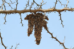 Wasp Nest in The Gambia Royalty Free Stock Photography