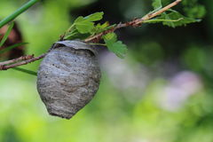 Wasp nest on gooseberry branch Royalty Free Stock Photography