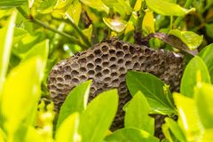 Wasp nest in a green bush. Close-up of a wasp nest in a green bush in the village of Krum, Southern Bulgaria royalty free stock image