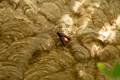 Wasp nest on green tree stock photography