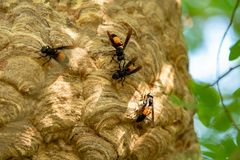 Wasp nest on green tree. Wasp and wasp nest in nature royalty free stock image