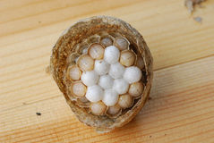 Wasp nest with grubs. The nest of a german wasp with grubs Royalty Free Stock Photo