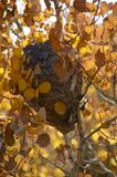Wasp nest hanging from tree in the fall time. With yellow and orange leaves closeup royalty free stock photography