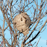 Wasp Nest. A wasp nest hangs from a tree royalty free stock image