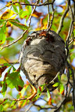 Wasp nest. Hangs in a tree with autumn leaves royalty free stock photography