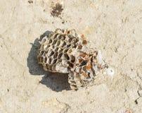 Wasp nest with honey. Wasp honey. Stock Image