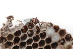 Wasp nest Stock Photos