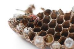 Wasp nest Royalty Free Stock Photo
