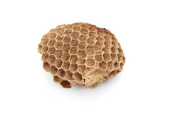 Wasp nest with Insect larvae stock photo