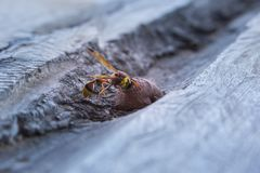 Wasp in nest, insect in wild. Life, animal in nature, close-up wasp on nest stock image
