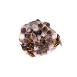 Wasp nest isolated Royalty Free Stock Photo