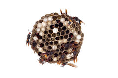 Wasp nest isolated on white, with wasps working and feeding the Royalty Free Stock Photos