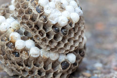 Wasp Nest with Larvae and Eggs Macro Stock Photo
