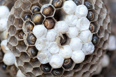 Wasp Nest with Larvae Macro Royalty Free Stock Image