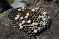 Wasp nest lying on a tree stump. Royalty Free Stock Photos