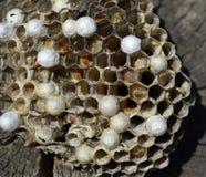 Wasp nest lying on a tree stump. Royalty Free Stock Image