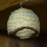 Wasp nest. The newly built wasp nest royalty free stock photos