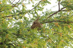 Wasp nest of Poisonous insects on the tree. Royalty Free Stock Images