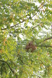 Wasp nest of Poisonous insects on the tree. Stock Photos