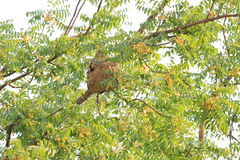 Wasp nest of Poisonous insects on the tree. Stock Photo