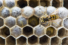 Wasp on the nest. Portrait of wasp on the nest with larva. Macro Royalty Free Stock Photo