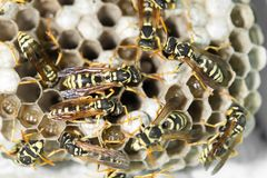 Wasp Nest with Pupae royalty free stock image