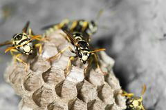 Wasp Nest with Pupae stock image
