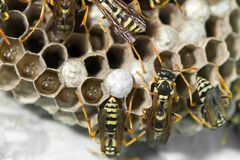 Wasp Nest with Pupae stock images