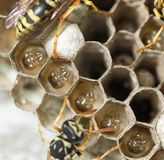 Wasp Nest with Pupae stock photo