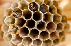 Wasp Nest. Small Wasp Nest Closeup In Sunny Day stock photos