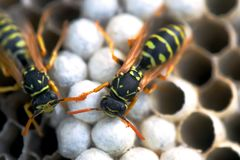 Wasp in the nest takes care of the offspring protects and feeds the larvae.  stock image