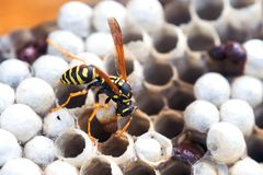 Wasp in the nest takes care of the offspring protects and feeds the larvae.  royalty free stock image