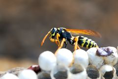 Wasp in the nest takes care of the offspring protects and feeds the larvae.  royalty free stock photo