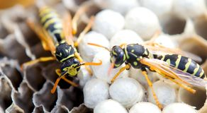 Wasp in the nest takes care of the offspring protects and feeds the larvae.  stock photography