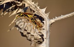 Wasp nest on thistle. Nest of wasps hanging from the branch of dry wild thistle Stock Images