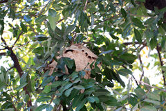 Wasp nest in a tree. Stock Photo