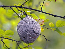 Wasp Nest in tree Stock Photography