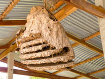 Wasp nest nature. Wasp nest on tree in forest royalty free stock images