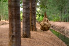 Wasp nest on tree. Wasp nest hangs in a tree with leaves royalty free stock images